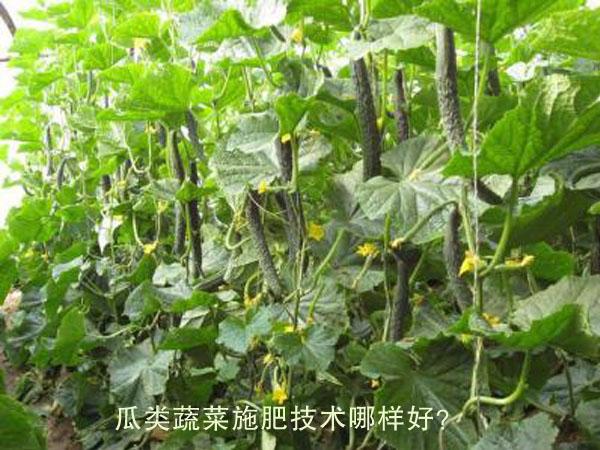 瓜类蔬菜施肥技术哪样好?